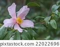 Ashton's Pride hybrid camellia 22022696