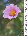 Winter's fancy hybrid camellia 22022706