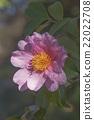 Winter's fancy hybrid camellia 22022708