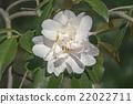 Polar Ice hybrid camellia 22022711