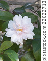 Jean May camellia 22022713