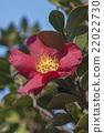 Sasangua camellia 22022730