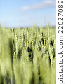 wheat field cereal 22027089
