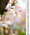 벚꽃, 클로즈업, 확대 22045052
