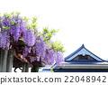 등나무 선반, 등나무, 꽃 22048942