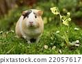 Funny guinea pig 22057617