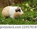 Fat guinea pig 22057618