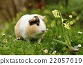 Guinea pig with flower 22057619