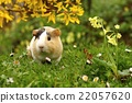 Guinea pig and flowers 22057620