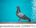 Pigeon in the pool 22060751