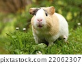 Guinea pig sniffing 22062307