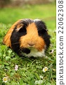 Hairy guinea pig 22062308