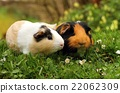 Guinea pig friends 22062309