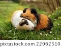 Guinea pig love 22062310
