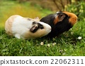 Guinea pigs sniffing 22062311