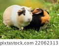 Two cute guinea pigs 22062313