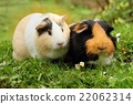 Two adorable guinea pigs 22062314