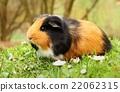 Brown guinea pig 22062315