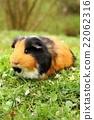 Adult guinea pig 22062316
