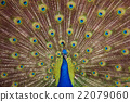 peafowl, peacock, avian 22079060