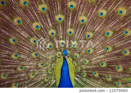peafowl, peacock, avian 22079060