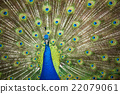 peafowl, peacock, avian 22079061
