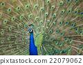 peafowl, peacock, avian 22079062