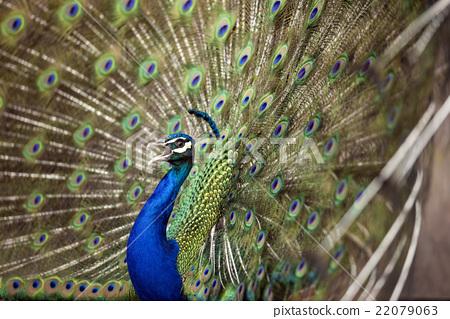 peafowl, peacock, avian 22079063