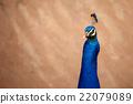 peafowl, peacock, avian 22079089