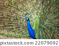 peafowl, peacock, avian 22079092