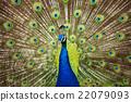peafowl, peacock, avian 22079093