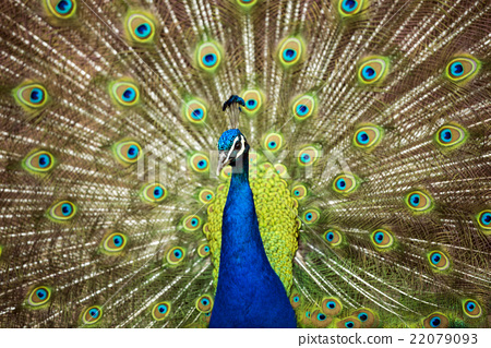 peafowl, peacock, avian 22079093