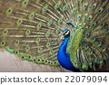 peafowl, peacock, avian 22079094