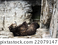 brown bear, grizzly, grizzly bear 22079147