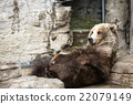 brown bear, grizzly, grizzly bear 22079149