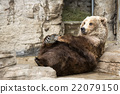 brown bear, grizzly, grizzly bear 22079150