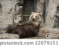 brown bear, grizzly, grizzly bear 22079151