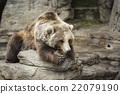 brown bear, grizzly, grizzly bear 22079190