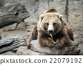 brown bear, grizzly, grizzly bear 22079192
