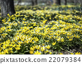 crocus, flowers, flower 22079384
