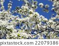 bloom, crab apple, flowers 22079386