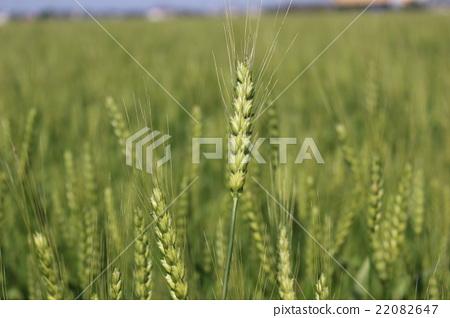Wheat field 22082647