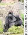 大猩猩 動物 進餐 22086501