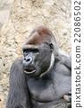 大猩猩 動物 春 22086502