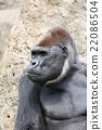大猩猩 動物 春 22086504