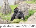 大猩猩 動物 進餐 22086505