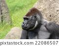 大猩猩 動物 春 22086507
