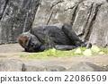 大猩猩 動物 千葉動物園 22086509