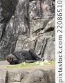 大猩猩 動物 千葉動物園 22086510