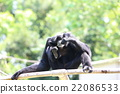 猴子 猴 動物 22086533